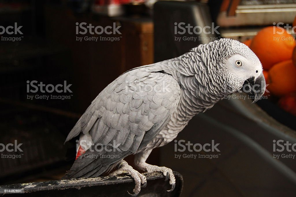 African Grey parrot Lizenzfreies stock-foto
