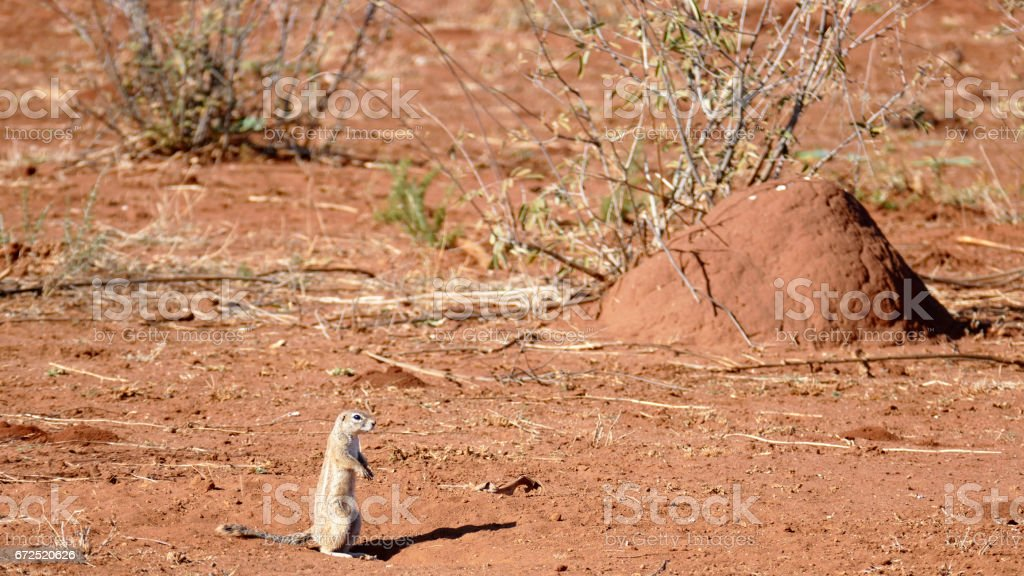 African ground squirrel in front of a termite mound in South Africa stock photo