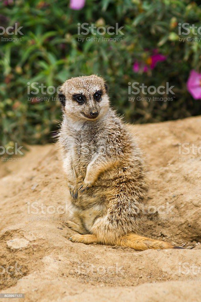 African Ground Squirrel stock photo