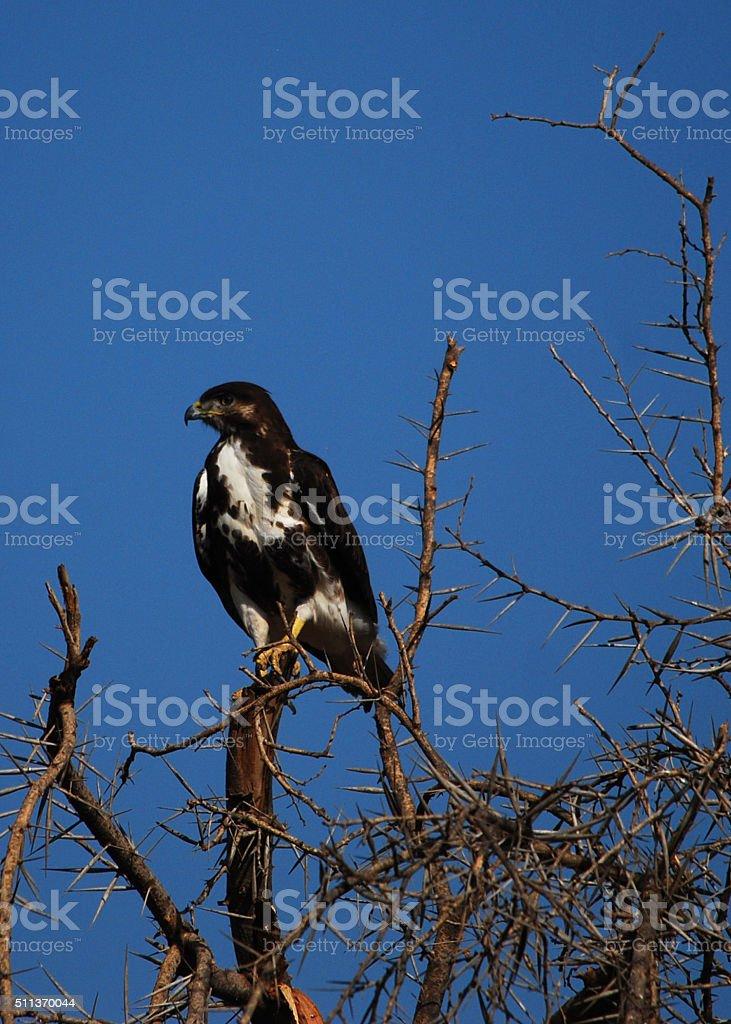 African Hawk Eagle stock photo