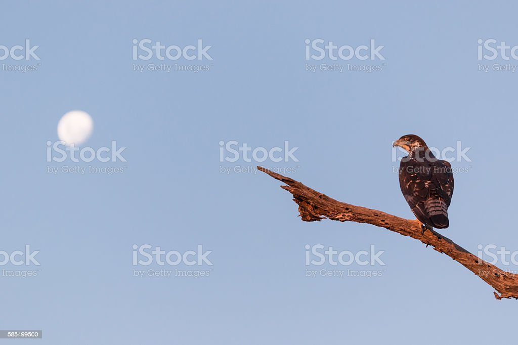 African hawk-eagle stock photo