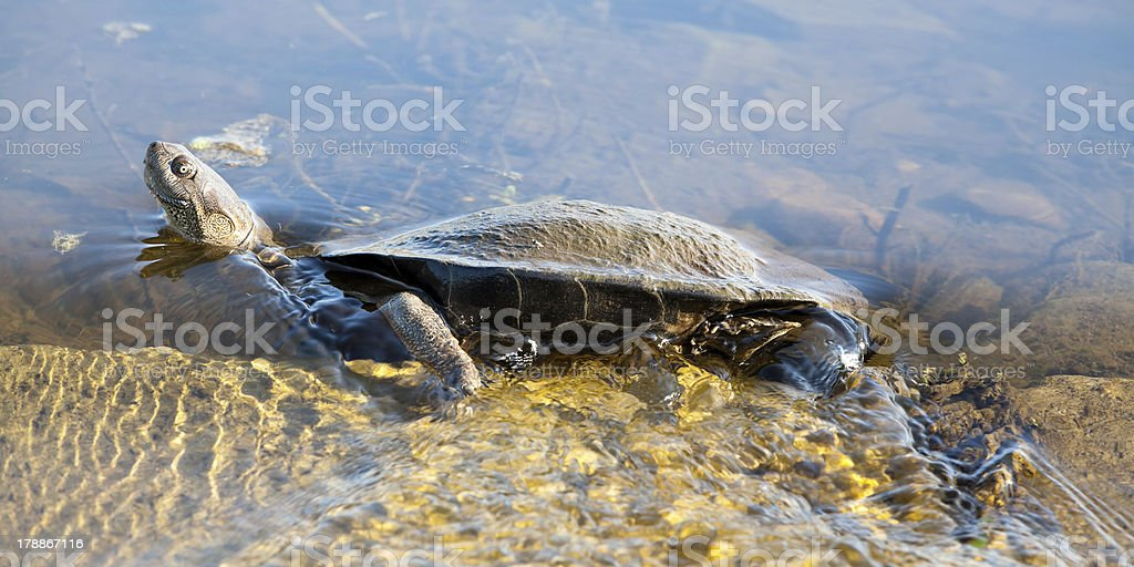 African Helmeted Turtle in water stream royalty-free stock photo