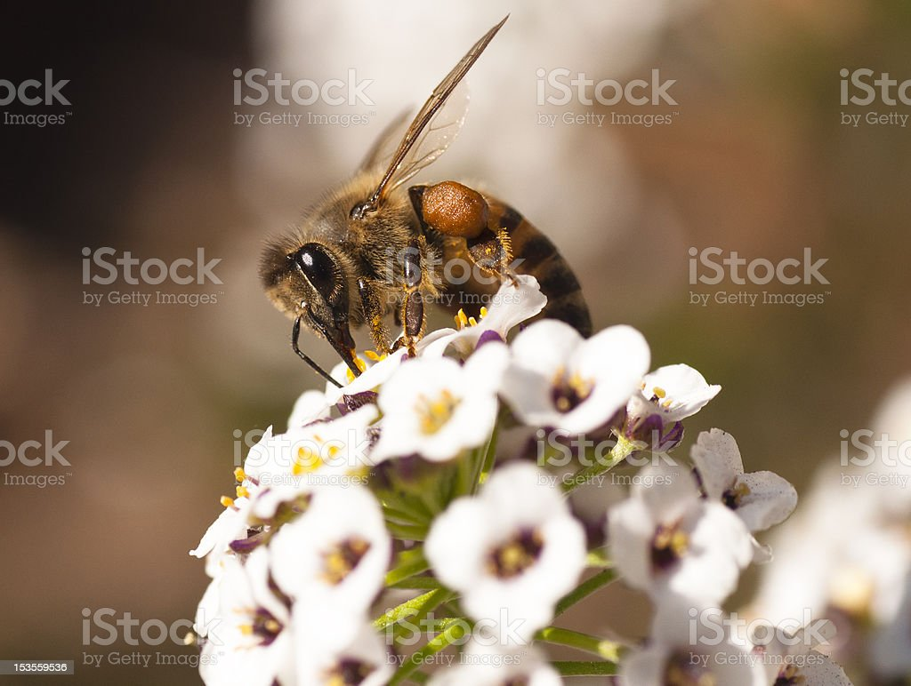 African honey bee on a small white flower royalty-free stock photo