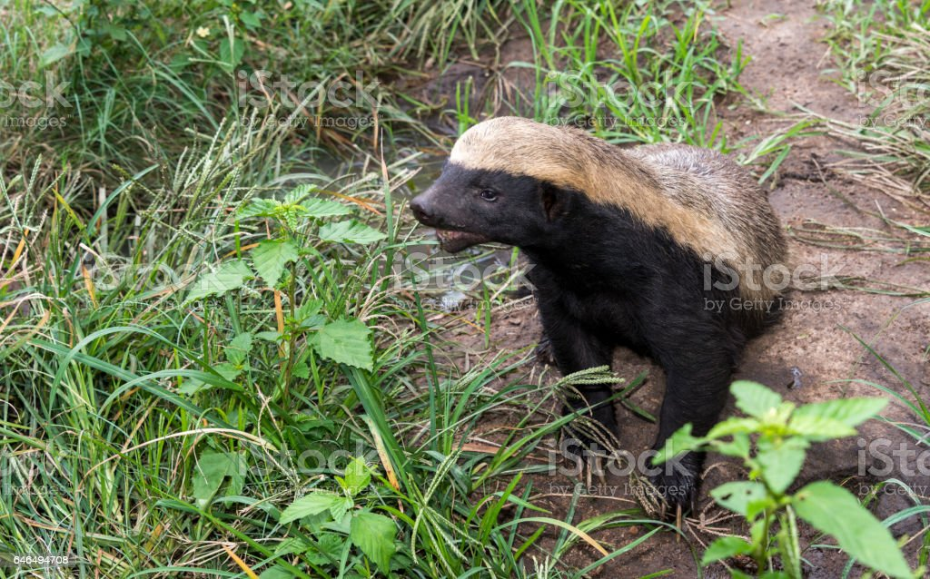 african honey ratel stock photo
