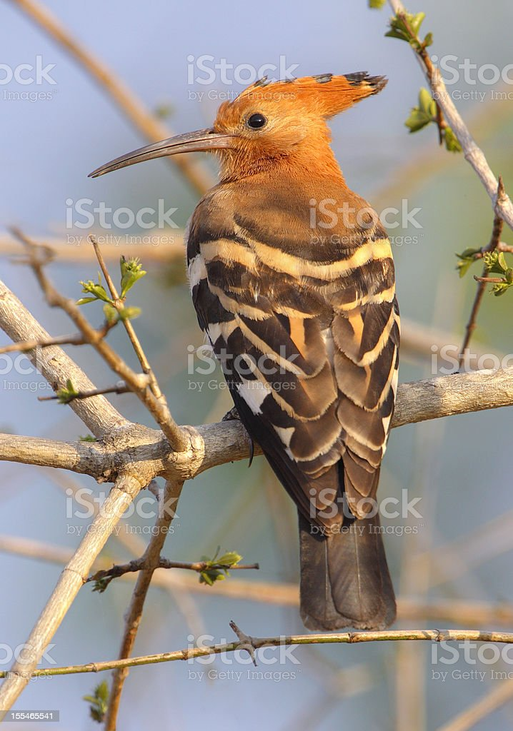 African Hoopoe in a tree stock photo