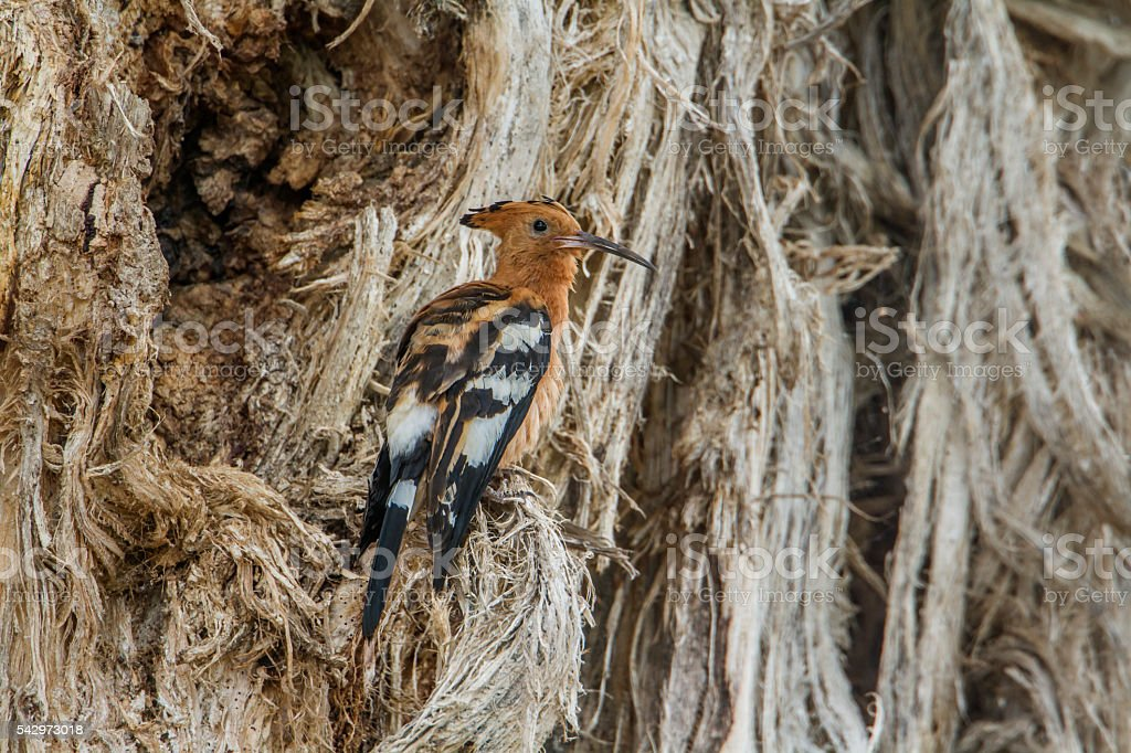 African hoopoe in Kruger National park, South Africa stock photo