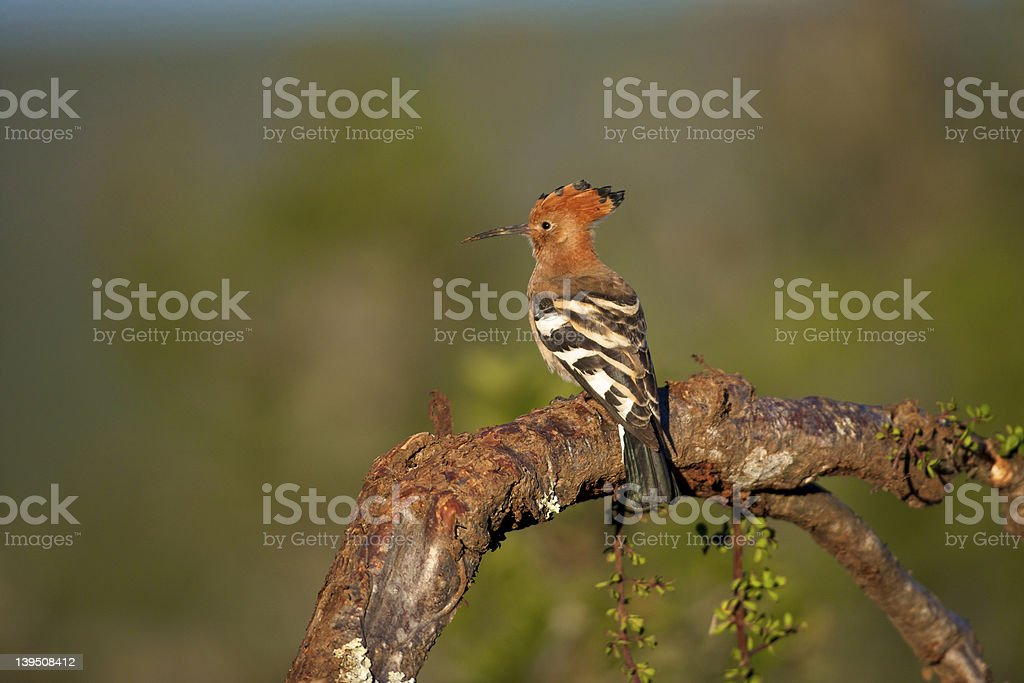 African Hoopoe, Mountain Zebra National Park stock photo