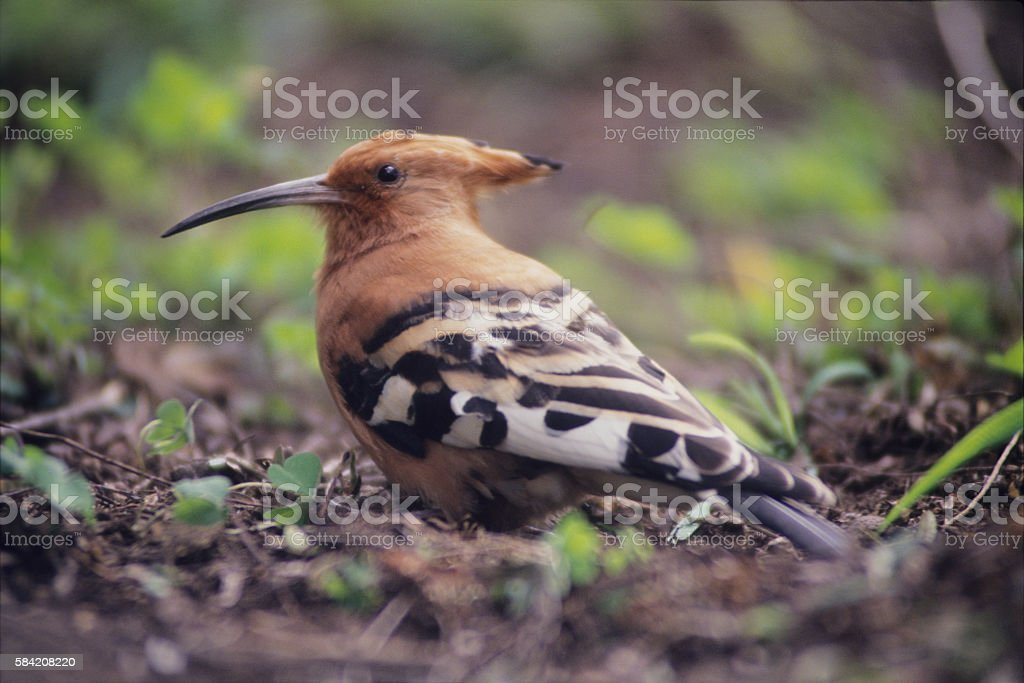 African Hoopoe on the ground, Lake Naivasha, Kenya stock photo