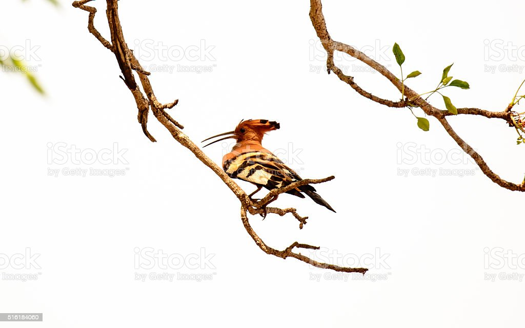 African Hoopoe perched on a branch stock photo