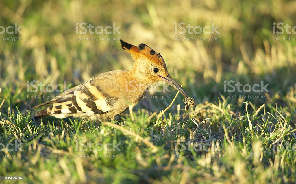 African Hoopoe (Upupa epops) stock photo