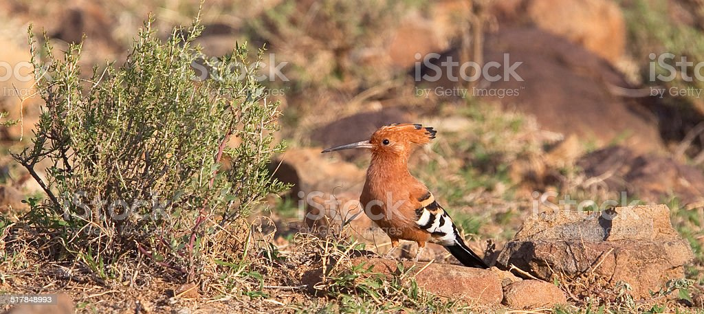 African Hoopoe stock photo