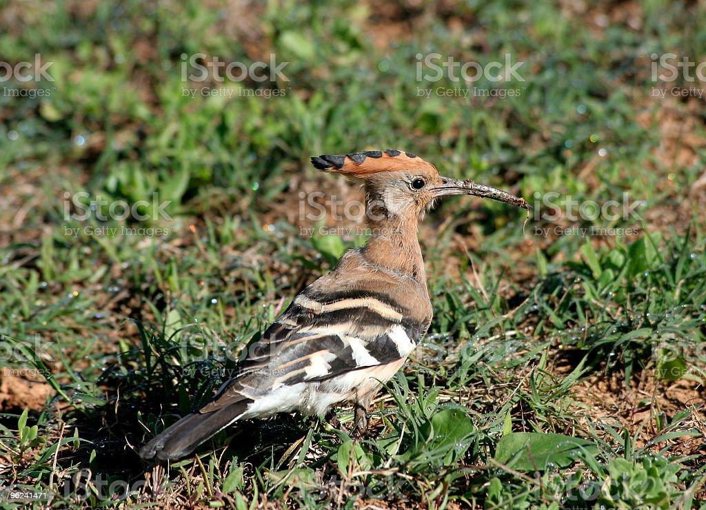 African Hoopoe stock photo