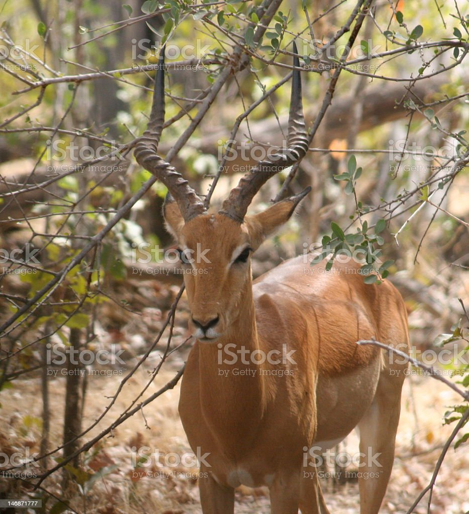 African Impala royalty-free stock photo