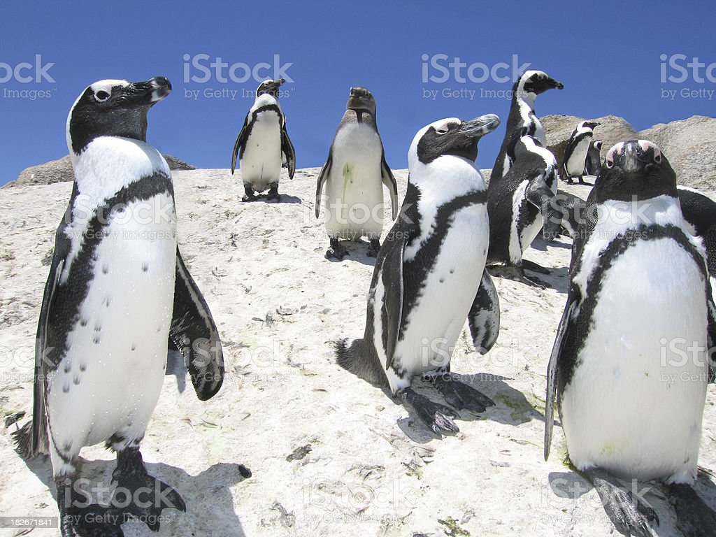 African Jackass Penguins royalty-free stock photo