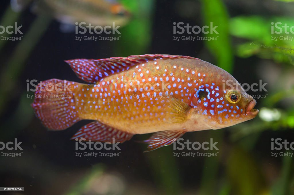 African jewelfish (Hemichromis bimaculatus). stock photo