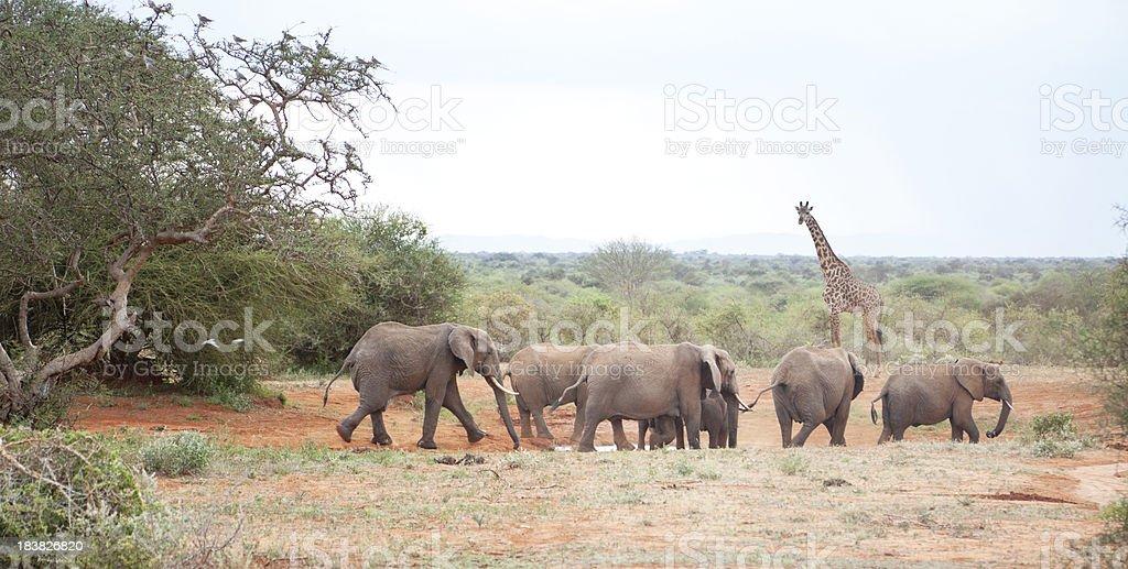 African landscape. Elephants and giraffe by waterhole, Porini, Kenya. stock photo