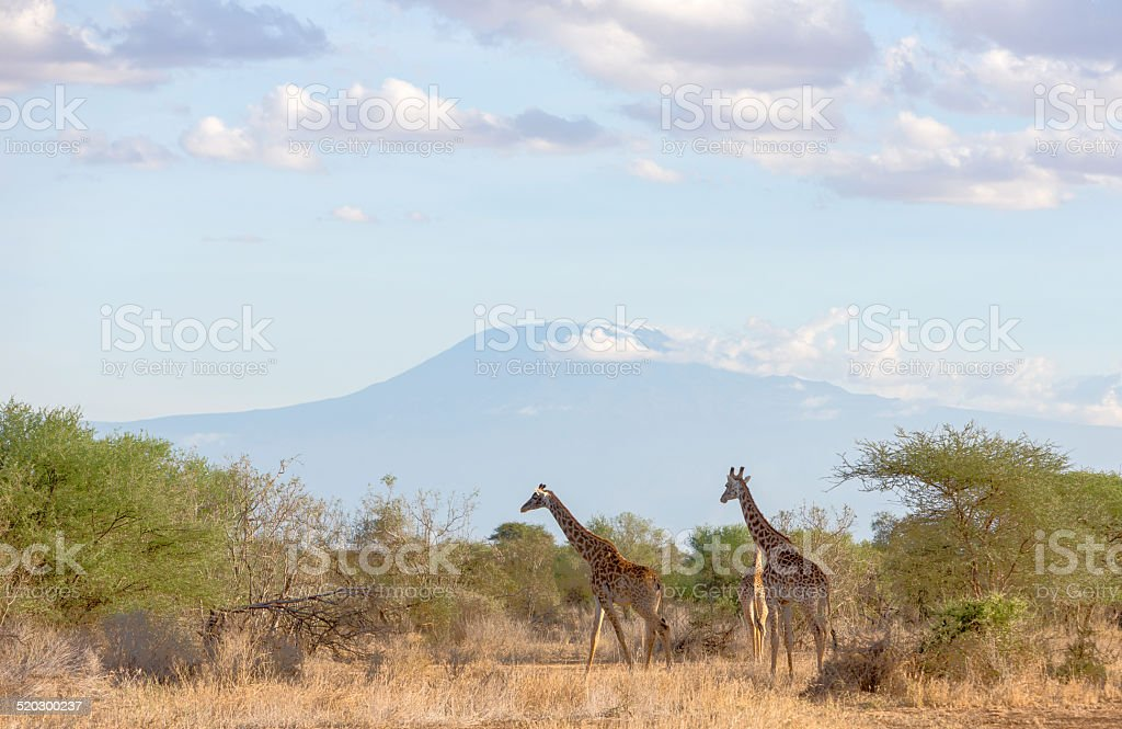 African landscape. Giraffes in front of Kilimanjaro. Porini Amboseli. stock photo