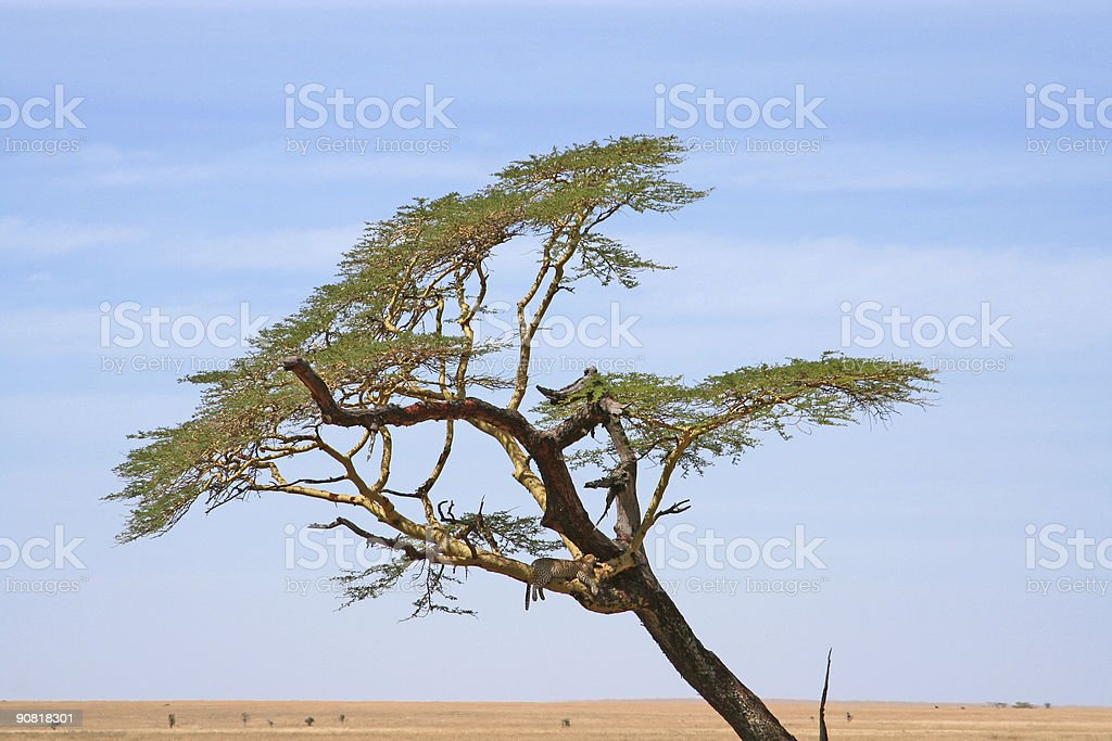 African Landscape (with Leopard) royalty-free stock photo