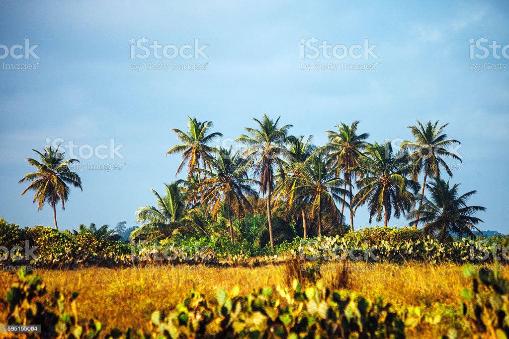 African landscape with coconut palm trees. stock photo