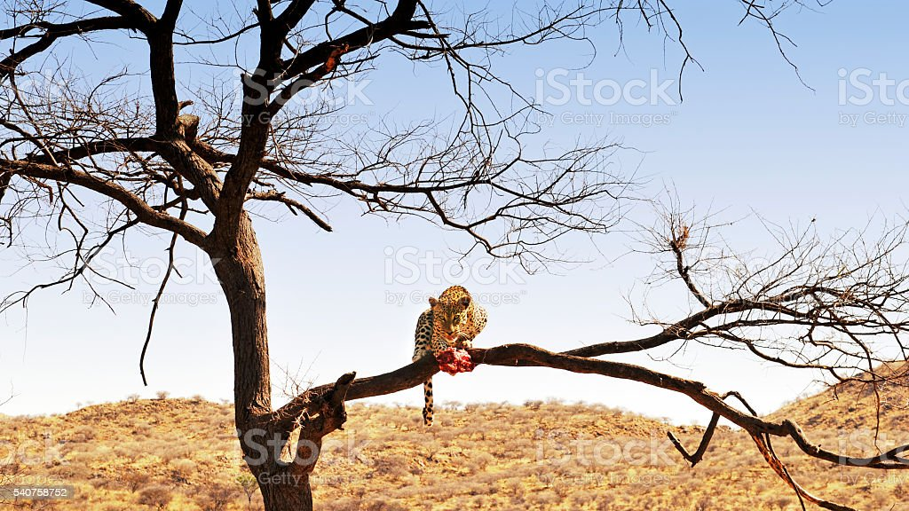African leopard enjoying  his dinner on a  tree branch , Namibia stock photo