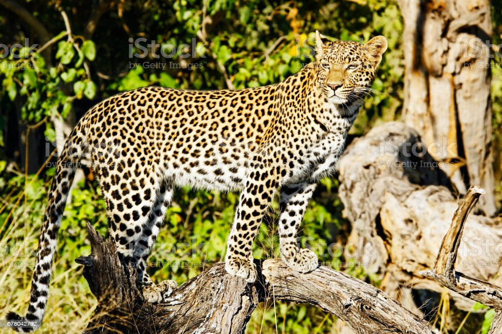 African leopard posing on a branch  in the Chitabe Concession of Botswana stock photo