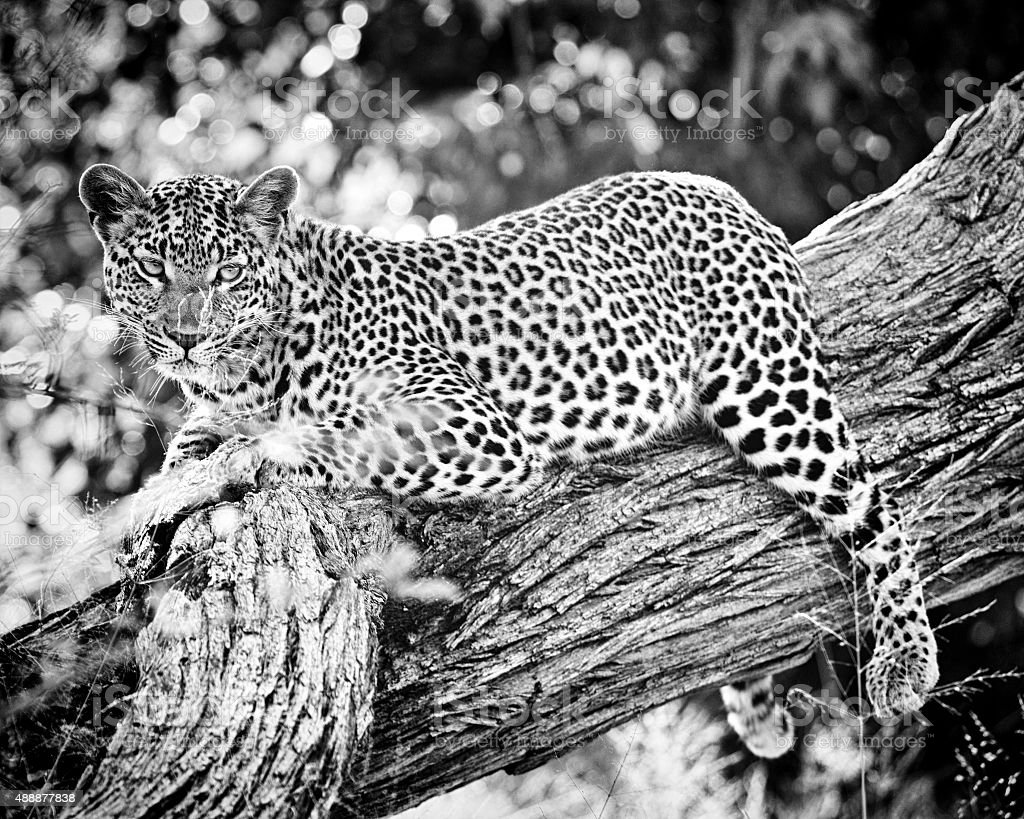 African leopard resting in the tree, Botswana stock photo