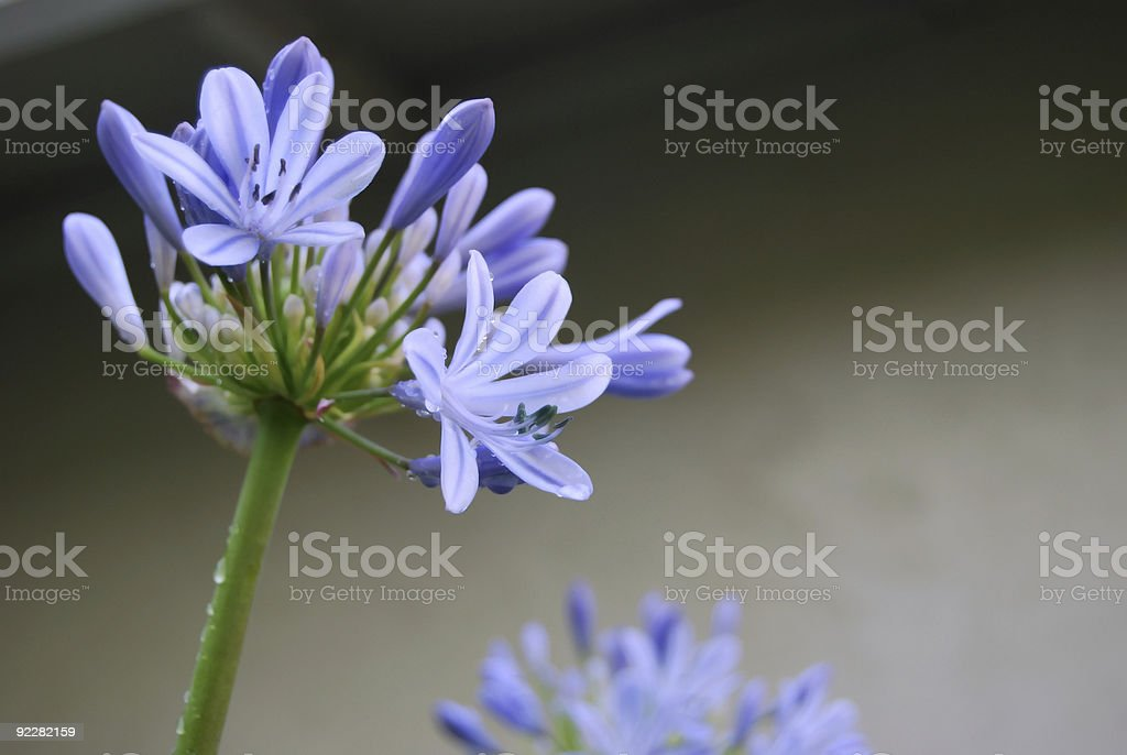 African Lily royalty-free stock photo