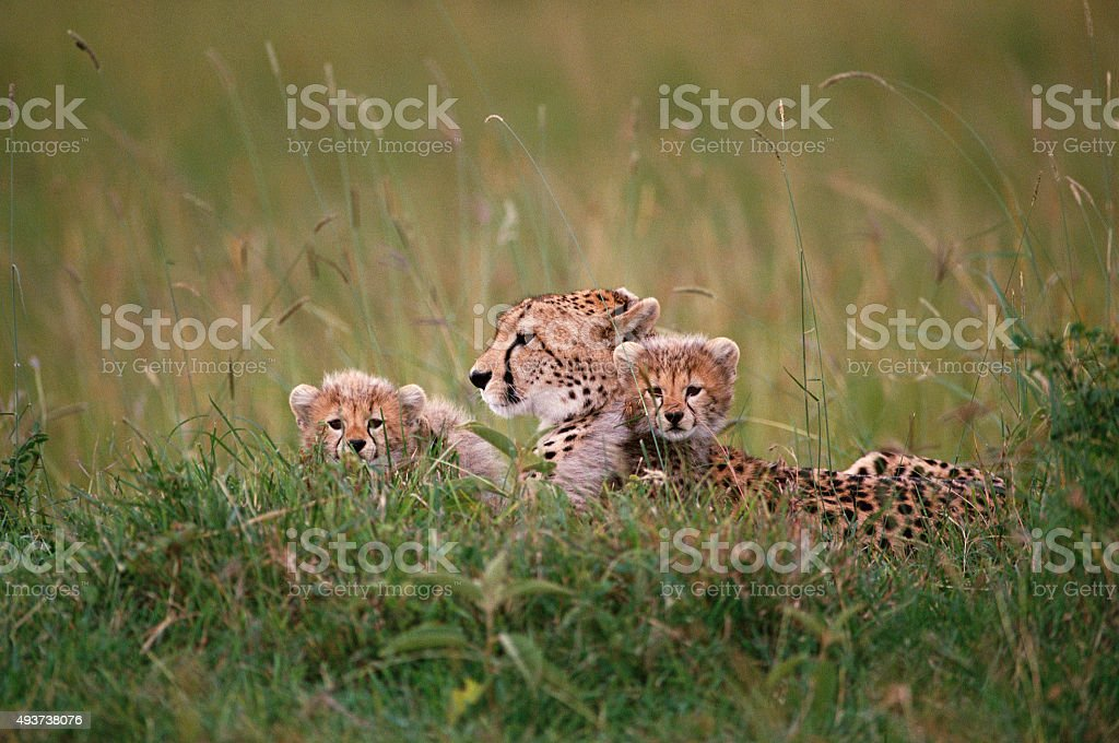 African Lion and Cubs stock photo