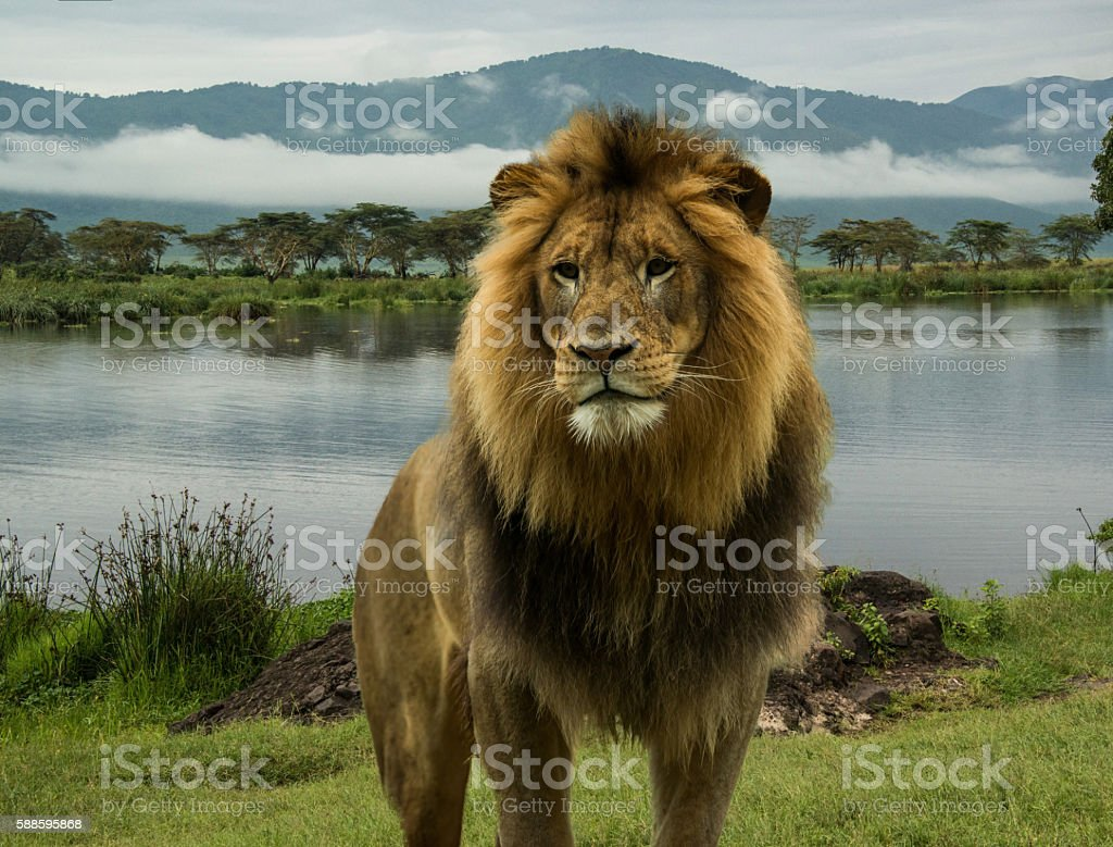 African lion at lake in Serengeti stock photo