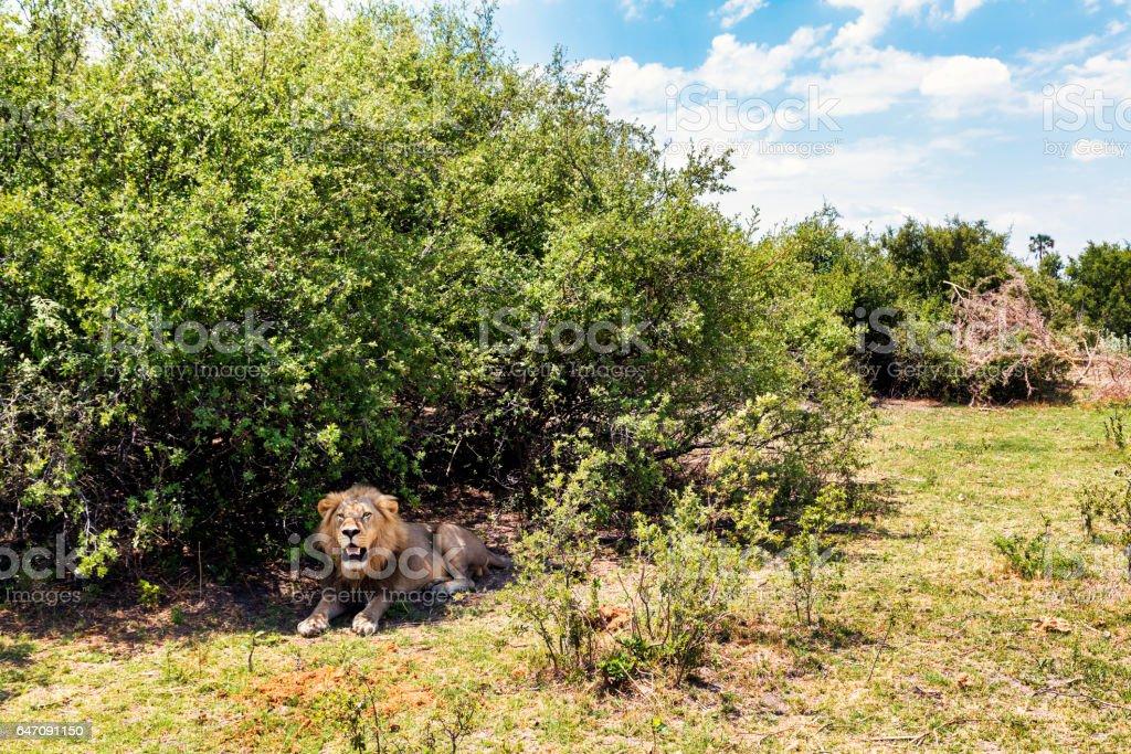 African lion, Chobe National Park, Botswana stock photo