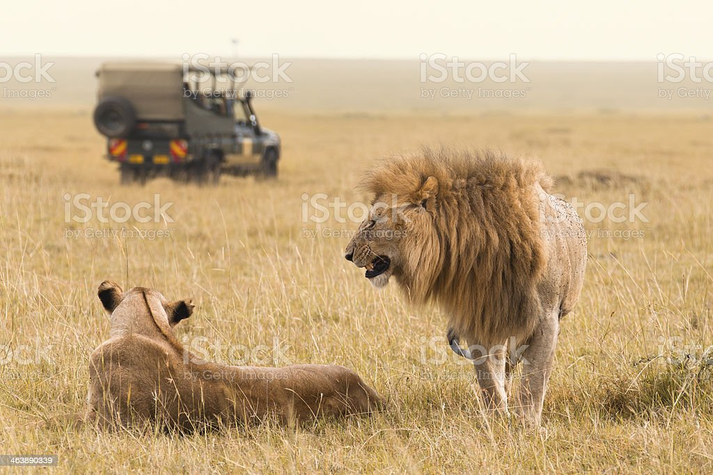 African lion couple and safari jeep stock photo