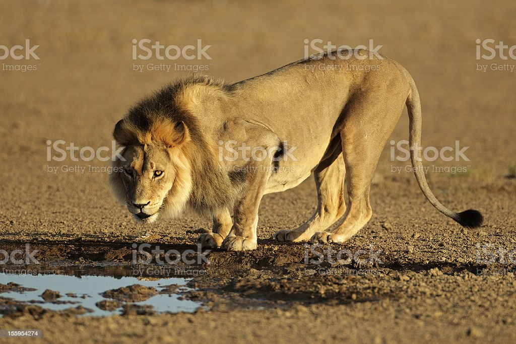 African lion drinking royalty-free stock photo