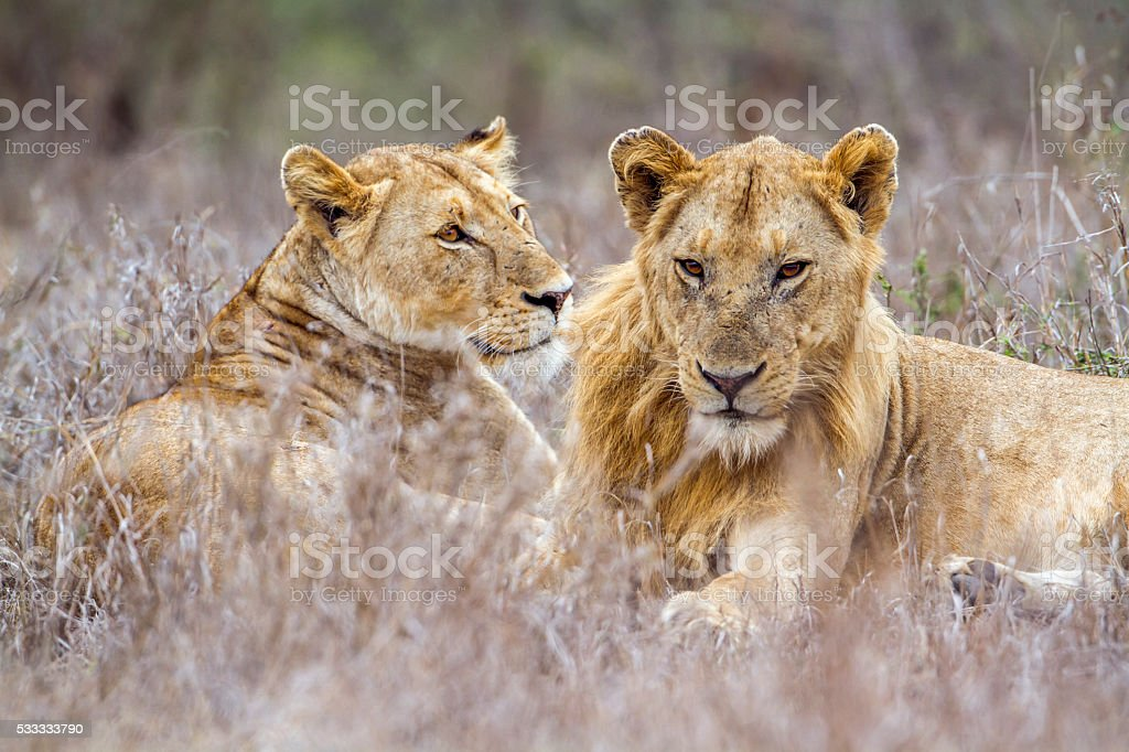 African lion in Kruger National park, South Africa stock photo