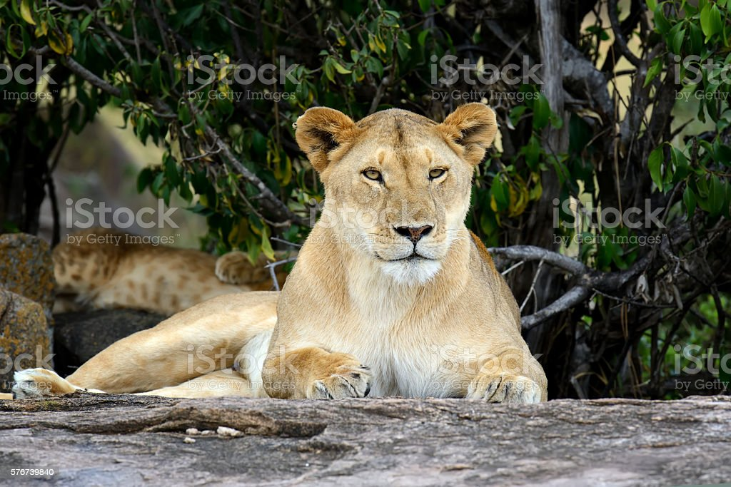 African lion in the Park South Africa stock photo