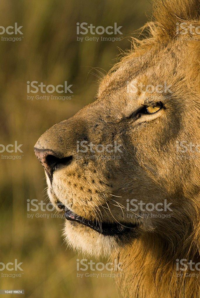 African Lion, Kenya stock photo