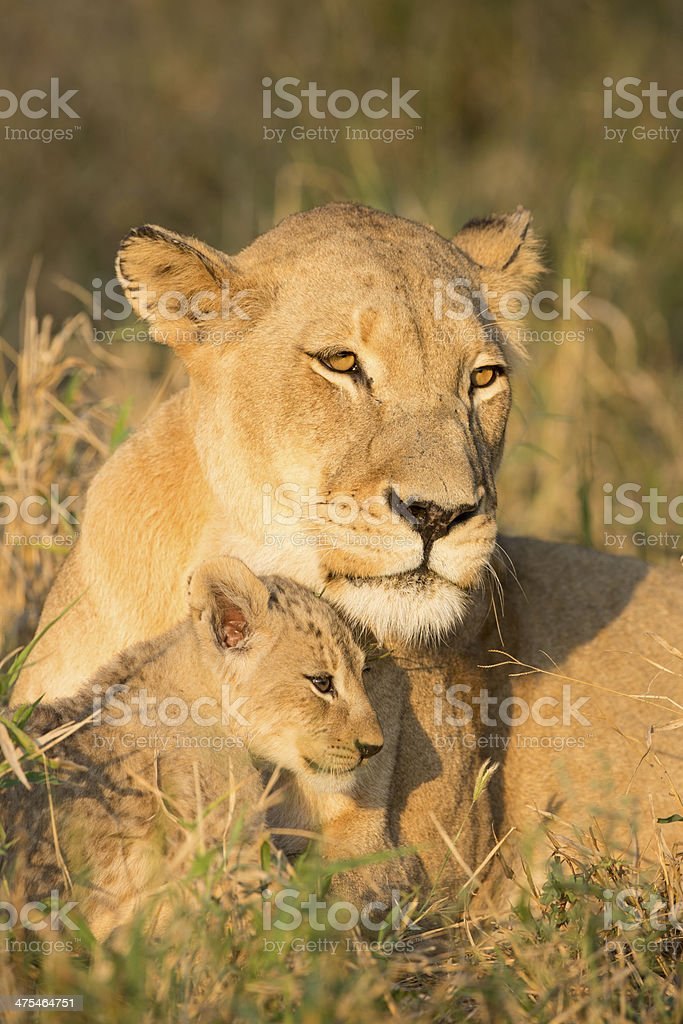 African Lion Mother and Cub (Panthera leo) South Africa stock photo