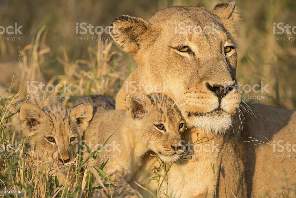 African Lion Mother and Cubs (Panthera leo) South Africa stock photo