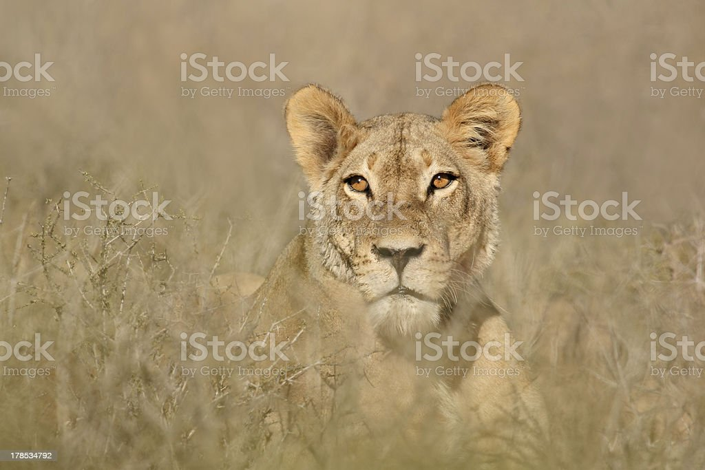 African lion portrait royalty-free stock photo