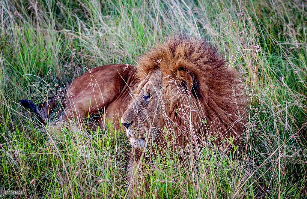 African Lion resting in the grass, Kenya stock photo