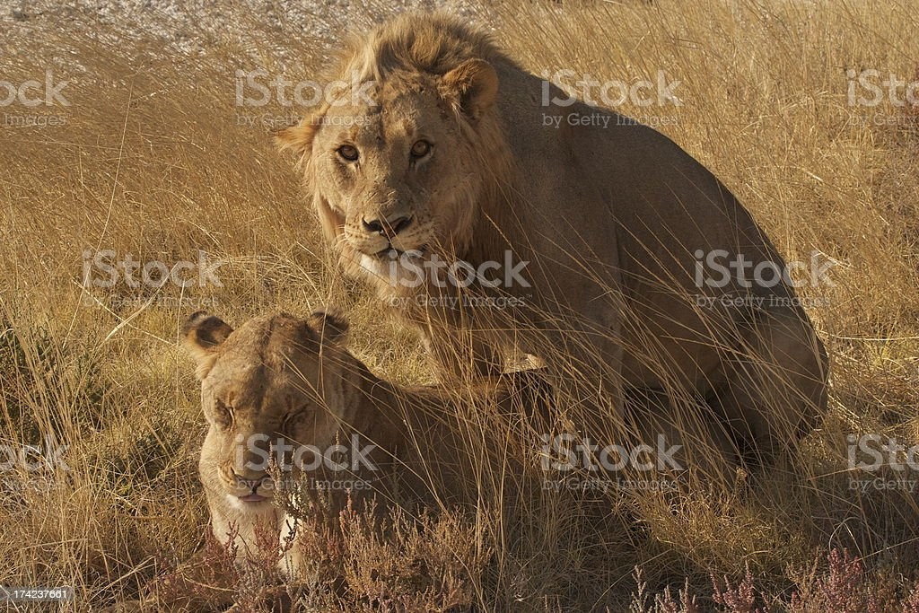 African lions mating royalty-free stock photo
