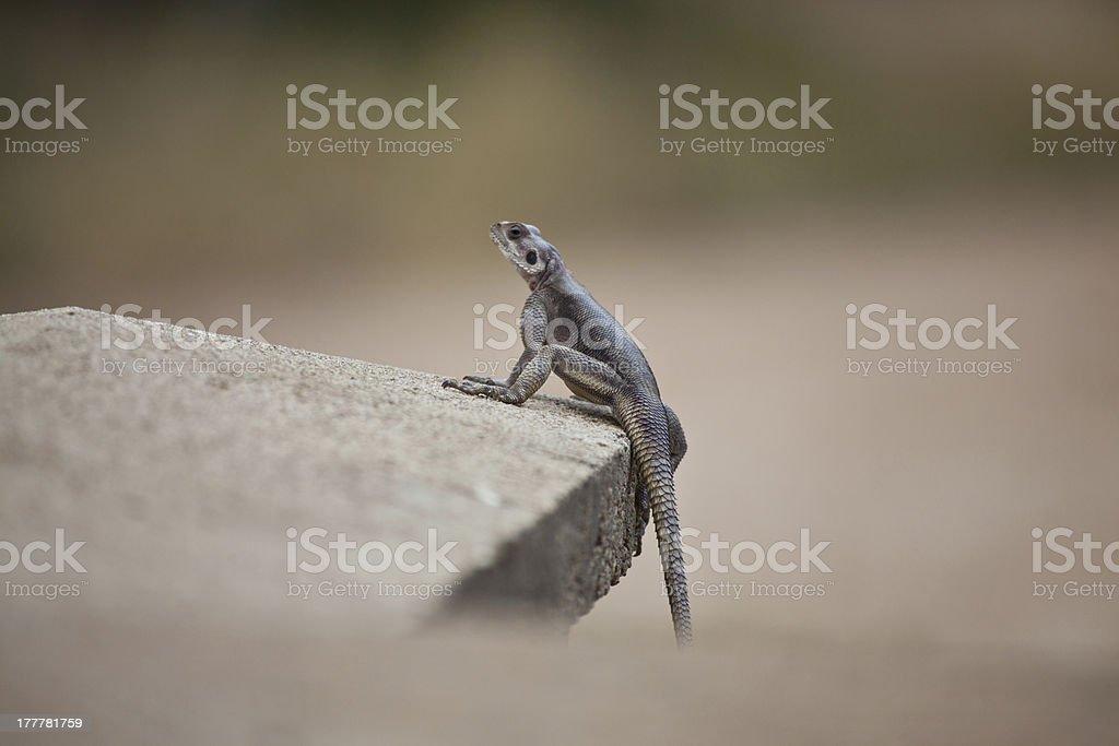 African Lizard stock photo