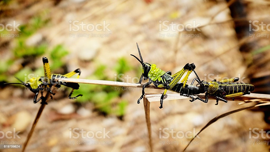 African locusts on a branch stock photo