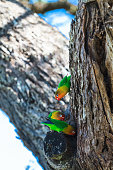 African lovebirds selecting a nest in a tree in the Serengeti.