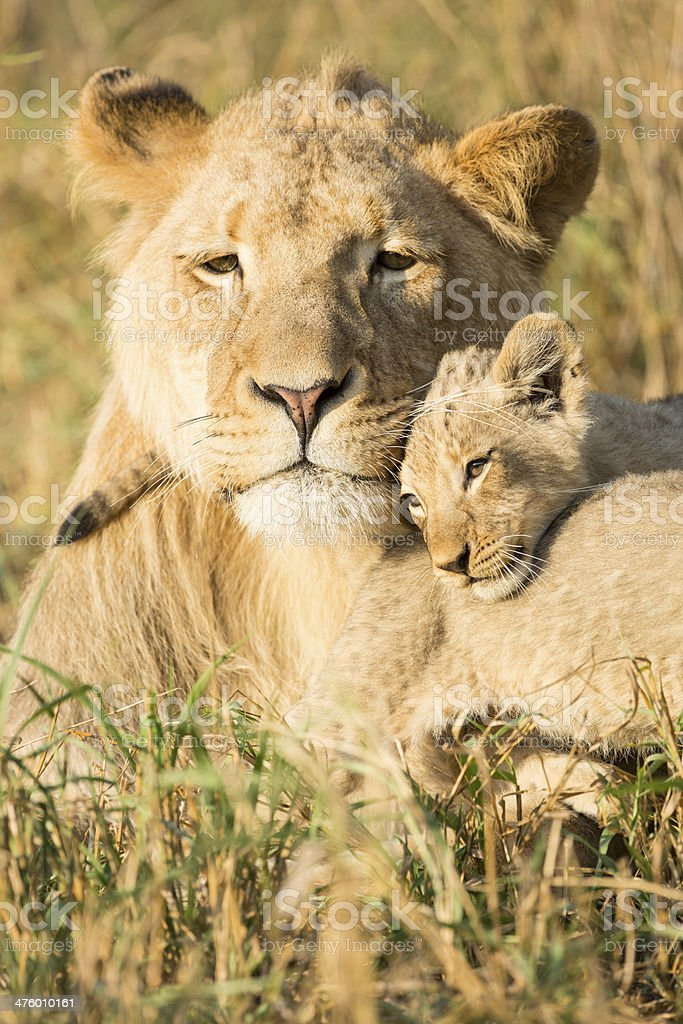 African Male Lion and Cub (Panthera leo) South Africa stock photo