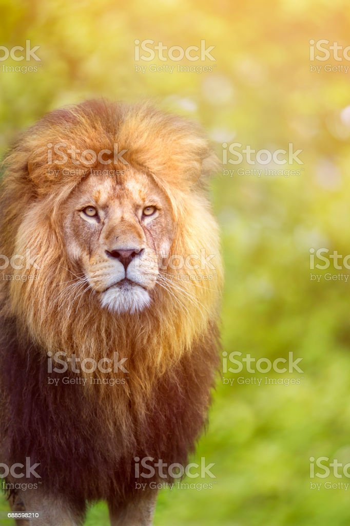 African male lion looking stock photo