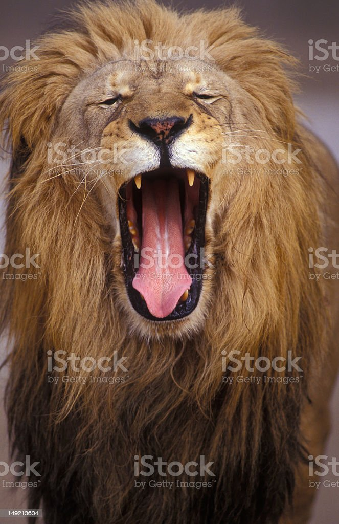 African Male Lion royalty-free stock photo