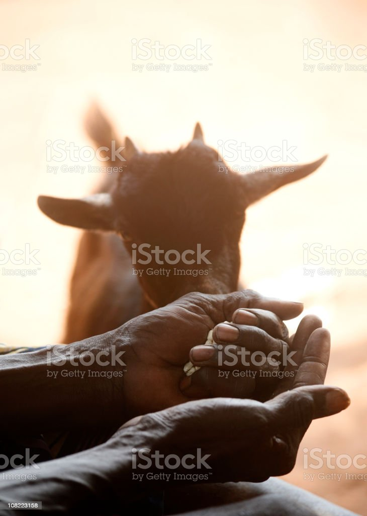 african man feeding  a goat royalty-free stock photo