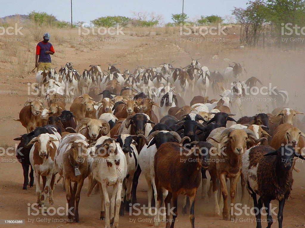 African man herding goats Namibia stock photo