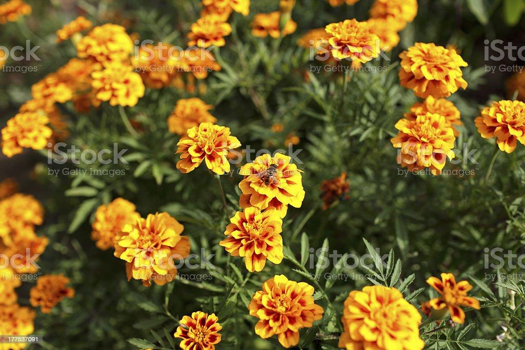 African Marigold in garden royalty-free stock photo