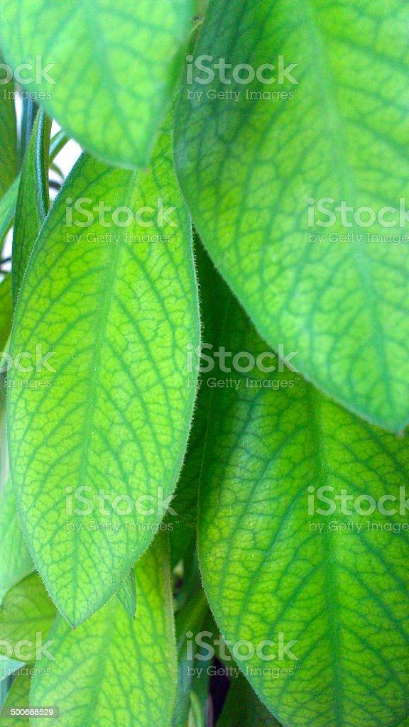 African milk bush stock photo